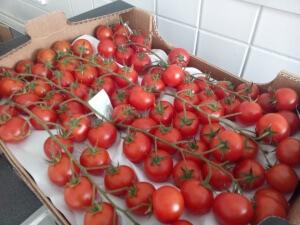 GF 18 Tomaten